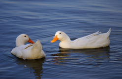 El pato dos puede ser pares foto de archivo libre de regalías