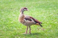 El pato egipcio del aegyptiaca de Alopochen del ganso Foto de archivo libre de regalías
