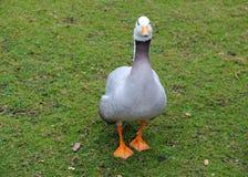El pato en el parque fotografía de archivo libre de regalías