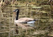 El pato en un cojín de lirio cubrió el lago fotografía de archivo