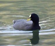 El pato es un pájaro acuático fotos de archivo