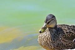 El pato está mirando Fotografía de archivo
