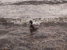 El pato est? nadando en el agua foto de archivo libre de regalías