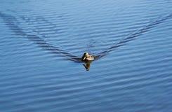 El pato flota en ondulaciones del agua Fotos de archivo libres de regalías