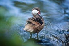 El pato nada en el agua Imágenes de archivo libres de regalías