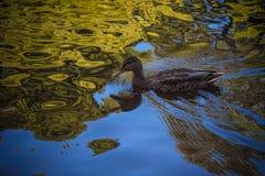 El pato nada en la charca en el verano Imagenes de archivo