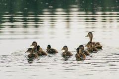 El pato nada en el lago con los anadones en fila fotografía de archivo