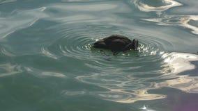 El pato nada y se zambulle en agua que brilla limpia metrajes