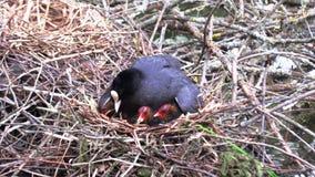 El pato negro alimenta sus polluelos en la jerarquía almacen de video