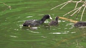 El pato negro alimenta sus polluelos en la jerarquía metrajes