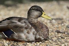El pato negro americano (rubripes de las anecdotarios) Imagenes de archivo
