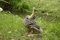 El pato o los platyrhynchos comunes de las anecdotarios del pato fotografía de archivo