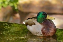 El pato principal verde del pato silvestre flota en la charca tranquila Fotos de archivo libres de regalías