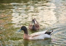 El pato que flota en el agua Imagen de archivo libre de regalías