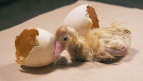 El pato recién nacido del bebé está sacudiendo cerca de la cáscara de huevo quebrada