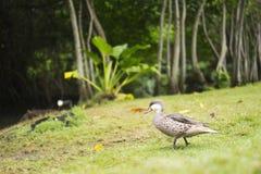 El pato rojizo se está sentando en la hierba verde Pájaro de agua en el prado Un animal hermoso en el hábitat de la naturaleza imagen de archivo