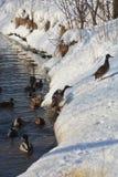 El pato salta del río y sube para arriba un banco nevoso del río imagen de archivo libre de regalías