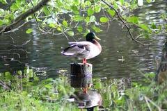 El pato salvaje encendido pisa fuerte Imagen de archivo