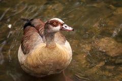 El pato salvaje más famoso y más común Imagen de archivo libre de regalías