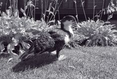 El pato se está colocando en la hierba Él mira la imagen Fotografía de archivo