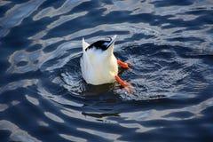 El pato se zambulló en el agua en busca de la comida Fotos de archivo