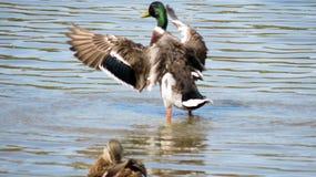 El pato silvestre con las alas se abre Imagen de archivo libre de regalías