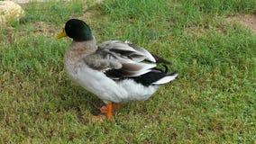 El pato silvestre ducks en el pueblo popular de la herencia en Abu Dhabi, United Arab Emirates almacen de video