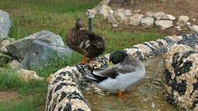 El pato silvestre ducks en el pueblo popular de la herencia en Abu Dhabi, United Arab Emirates metrajes