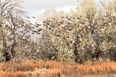 El pato silvestre ducks la migración en el aterrizaje de la caída en un campo de grano Foto de archivo libre de regalías