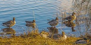El pato silvestre ducks (los platyrhynchos de las anecdotarios) Fotos de archivo
