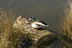 El pato silvestre ducks pares Fotos de archivo