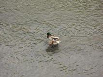 El pato silvestre masculino Foto de archivo