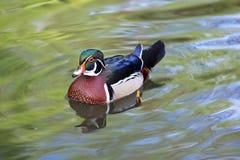 El pato silvestre masculino en el lago en el jardín botánico del sao Miguel de Furnas Foto de archivo libre de regalías