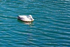 El pato silvestre masculino en el lago en el jardín botánico del sao Miguel de Furnas Imagen de archivo libre de regalías