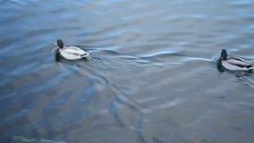 El pato silvestre masculino hermoso ducks la natación en agua azul clara del fiordo almacen de video