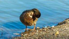 El pato silvestre o el pato salvaje limpia las plumas, lavado de la mañana almacen de video