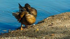 El pato silvestre o el pato salvaje limpia las plumas, lavado de la mañana almacen de metraje de vídeo