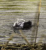 El pato sumerge su cabeza en el agua imagen de archivo