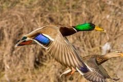 El pato vuela sobre la tierra Fotos de archivo