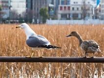 El pato y la gaviota craned sus cuellos fotos de archivo