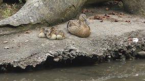 El pato y los anadones se están sentando en la orilla del lago almacen de metraje de vídeo