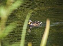 El pato y su reflexión en el agua Imagen de archivo