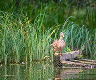 El pato zambullidor se coloca en las piernas anaranjadas en una plataforma y un lo de madera flotantes imagen de archivo