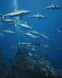 El patrullar gris de los tiburones del filón Foto de archivo