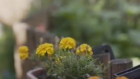 El patula de Tagetes de la flor en el jardín Flores del patula de Tagetes de la maravilla Flores amarillas y rojas Tagetes del gr metrajes