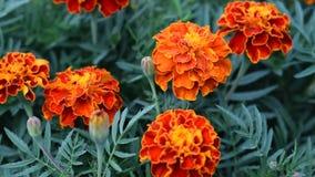 El patula de Tagetes de la flor en el jard?n Flores del patula de Tagetes de la maravilla Flores amarillas y rojas Tagetes del gr almacen de video