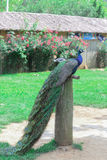 El pavo real Fotografía de archivo libre de regalías