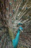 El pavo real Imagenes de archivo