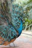 El pavo real Imagen de archivo libre de regalías