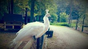 El pavo real blanco Fotografía de archivo